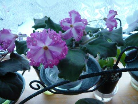 ジョーゼット SPが咲きました。_f0135269_919390.jpg