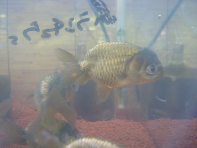 金魚・水草・熱帯魚・海水魚・サンゴ_f0189122_15354481.jpg