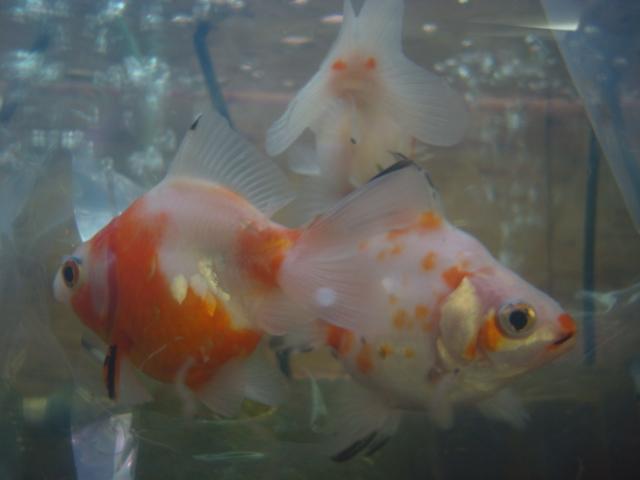 金魚・水草・熱帯魚・海水魚・サンゴ_f0189122_1535578.jpg
