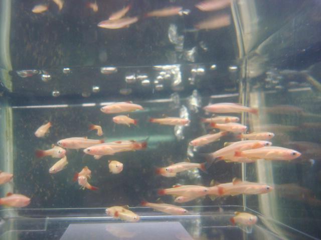 金魚・水草・熱帯魚・海水魚・サンゴ_f0189122_15415222.jpg