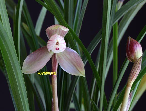 中国奥地蘭・朶朶香「桃蓋荷」            No.236_b0034163_19581428.jpg