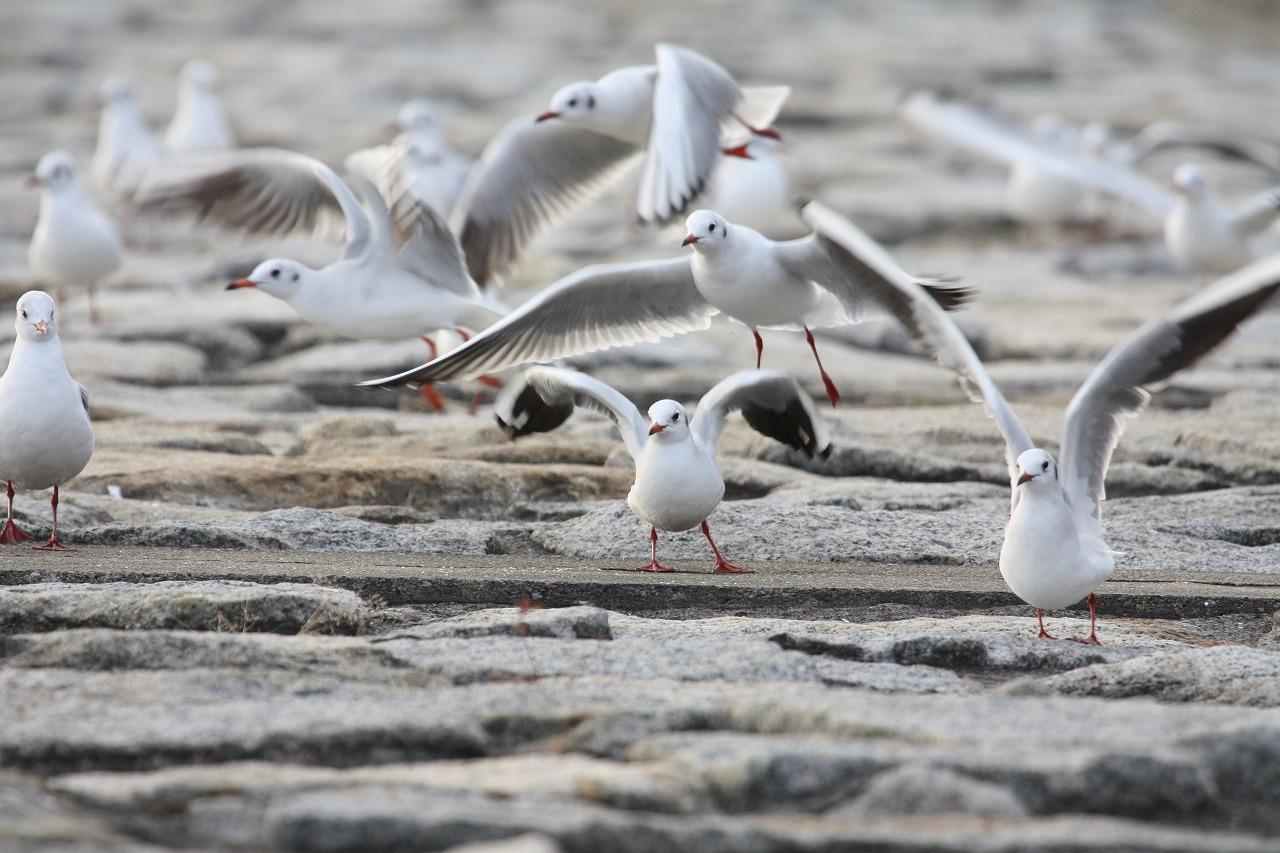 ★ホシハジロが500羽を越えました!・・・週末の鳥類園(2008.12.13~14) _e0046474_128128.jpg