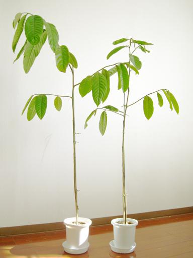 シャカトウの苗, sugarapple seedlings
