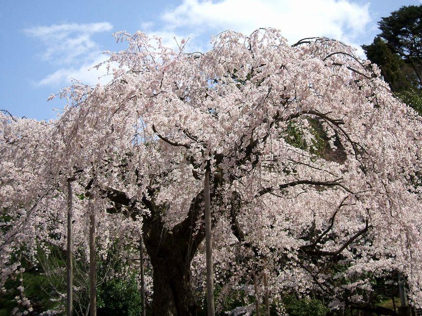 「桜情報・・・京都・円山公園」_d0133024_17443151.jpg