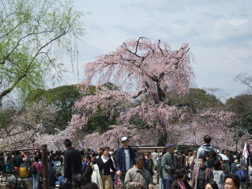 「桜情報・・・京都・円山公園」_d0133024_17444827.jpg
