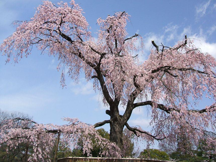 「桜情報・・・京都・円山公園」_d0133024_17452585.jpg