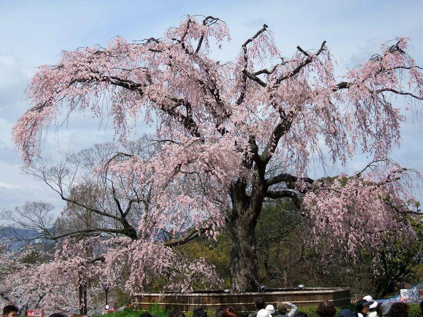 「桜情報・・・京都・円山公園」_d0133024_17454129.jpg