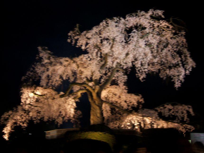 「桜情報・・・京都・円山公園」_d0133024_17455615.jpg