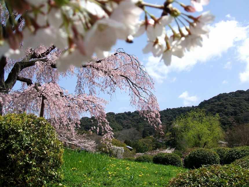「桜情報・・・京都・円山公園」_d0133024_1745833.jpg
