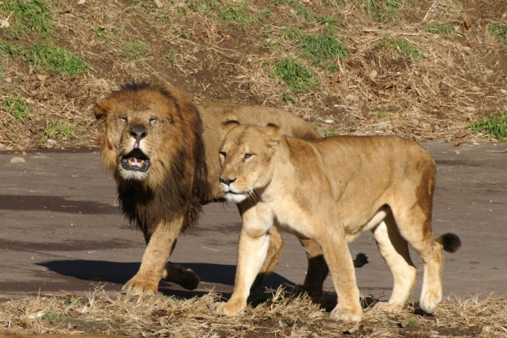 ライオンの画像 p1_31