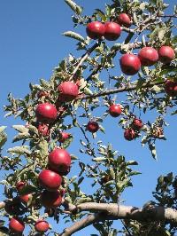 りんご狩り_c0180971_13445928.jpg