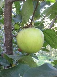 りんご狩り_c0180971_13451428.jpg