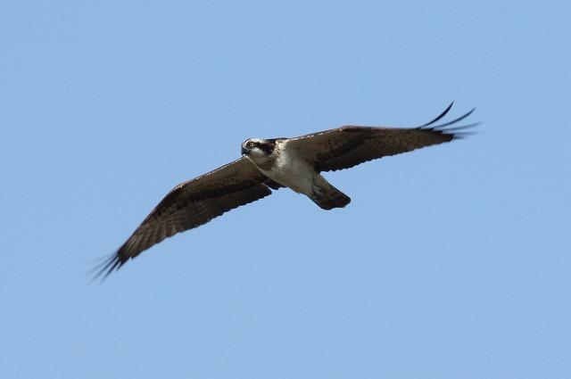 ★タカ・タカ・タカの週末でした・・・週末の鳥類園情報(2008.12.20~21,23)_e0046474_1955986.jpg