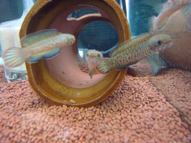 熱帯魚・水草・金魚_f0189122_21101043.jpg