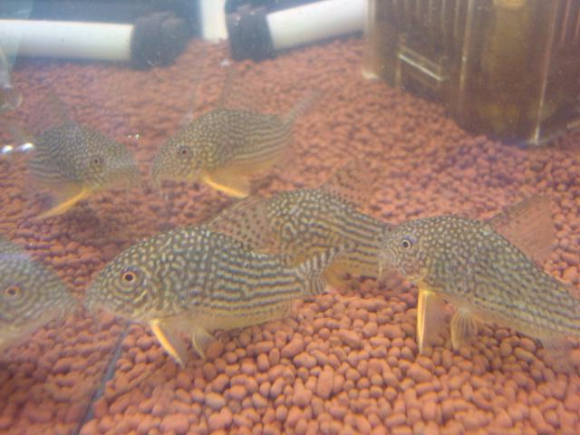 熱帯魚・水草・金魚_f0189122_21112255.jpg