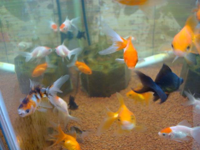 熱帯魚・水草・金魚_f0189122_2125522.jpg