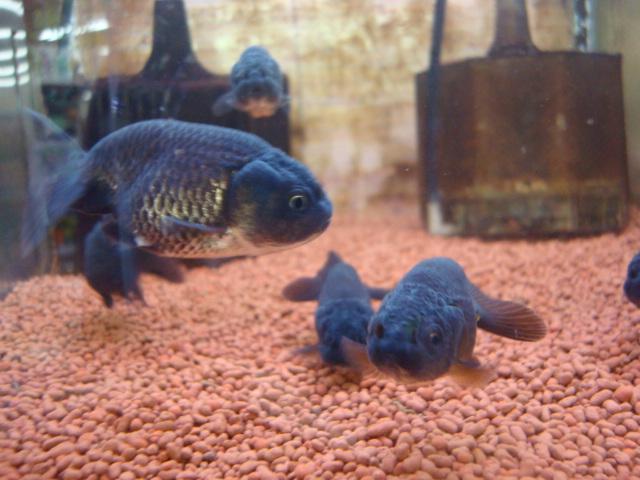 熱帯魚・水草・金魚_f0189122_21271833.jpg