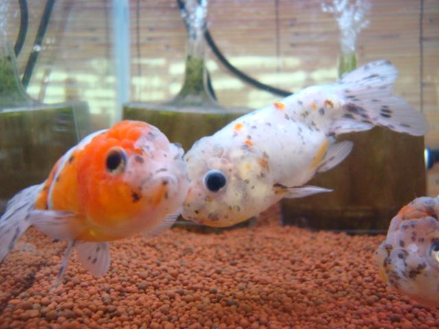 熱帯魚・水草・金魚_f0189122_21284645.jpg