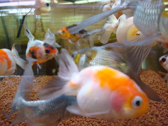 熱帯魚・水草・金魚_f0189122_21294193.jpg