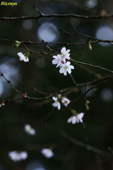 北鎌倉 十月櫻_d0086248_6483541.jpg