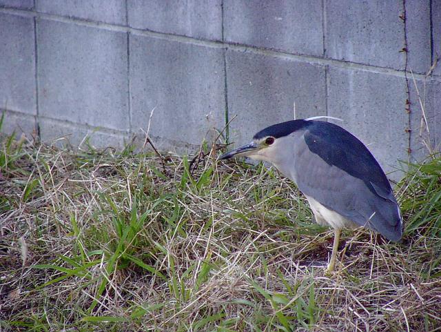 ゴイサギ 通勤鳥撮り_f0051915_21381852.jpg