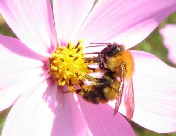 ミツバチの画像 p1_13