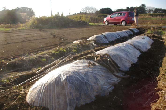 実家の畑のサトイモは冬の備えが万全だ(2008・12・25)_c0014967_101658100.jpg