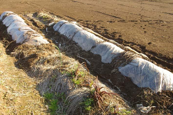 実家の畑のサトイモは冬の備えが万全だ(2008・12・25)_c0014967_10173384.jpg