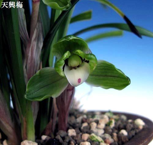 今年この一枚、中国春蘭梅弁「天興梅」       No.467_d0103457_01496.jpg