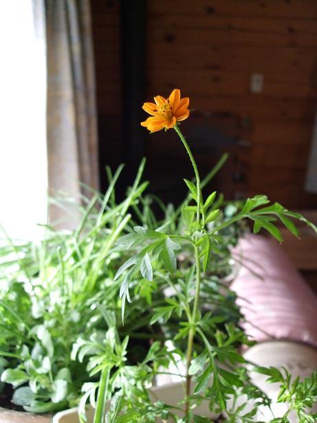 賑やかになった我が家と開花第一号_e0012815_23104593.jpg