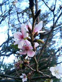 寒中の桜_a0103940_23592069.jpg
