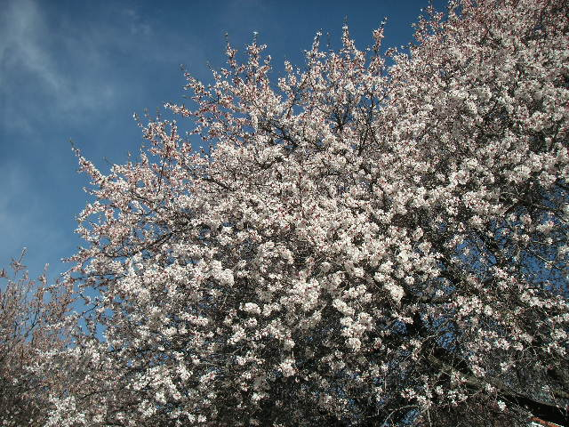杏の花_c0190938_19574792.jpg