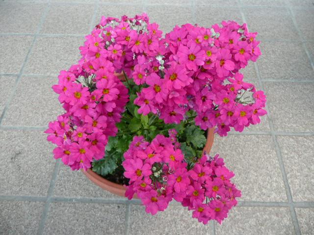 今 我が家で 咲いている花たちです♪_f0099147_016402.jpg