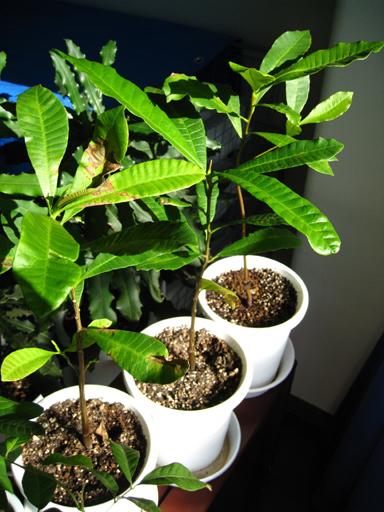 カシューナッツの苗、cashew seedlings