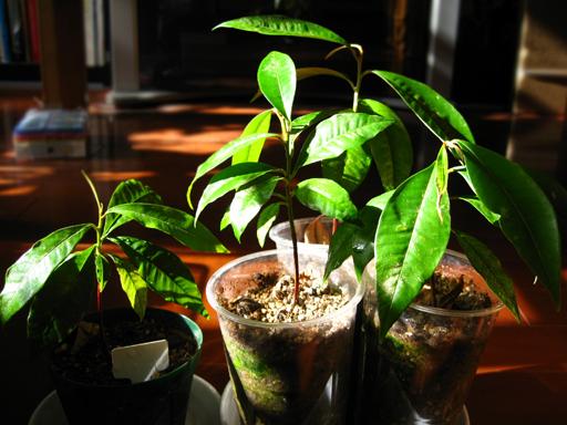 スターアップルの苗、star apple seedlings