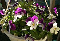 ベランダの花たち_f0139963_7503546.jpg