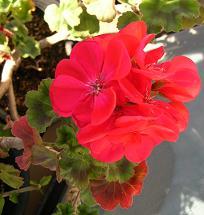ベランダの花たち_f0139963_7514714.jpg