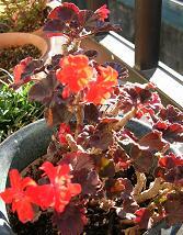 ベランダの花たち_f0139963_753271.jpg