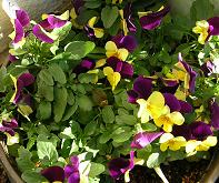 ベランダの花たち_f0139963_7544364.jpg