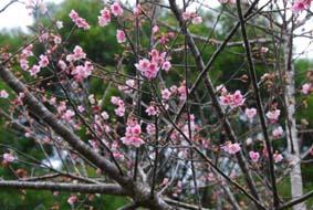 寒緋桜_f0121321_12362836.jpg
