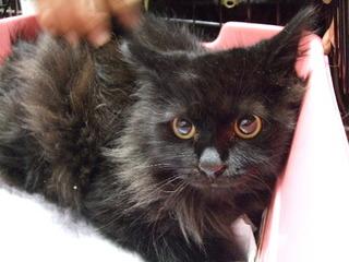 川に落ちていた長毛黒猫<かんた君>  杉並どうぶつネット