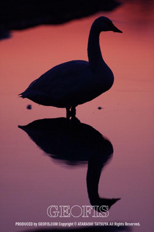 荒川のハクチョウ(3)_b0007284_21163637.jpg