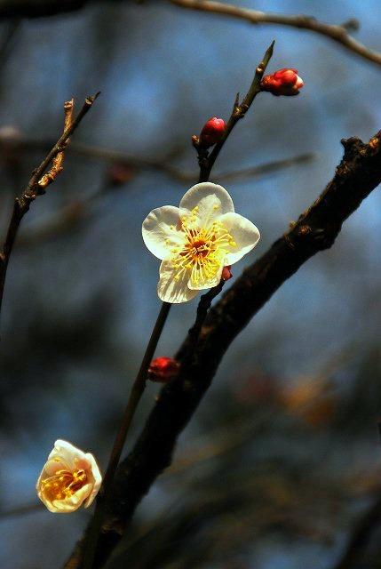 梅と菜の花・・もう咲いてるのかよ!!_d0065116_22271447.jpg