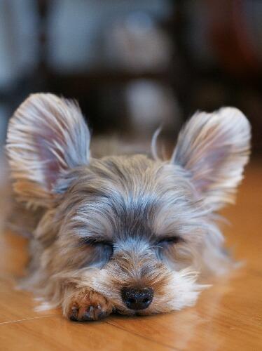耳を立てながら寝るヨークシャーテリア