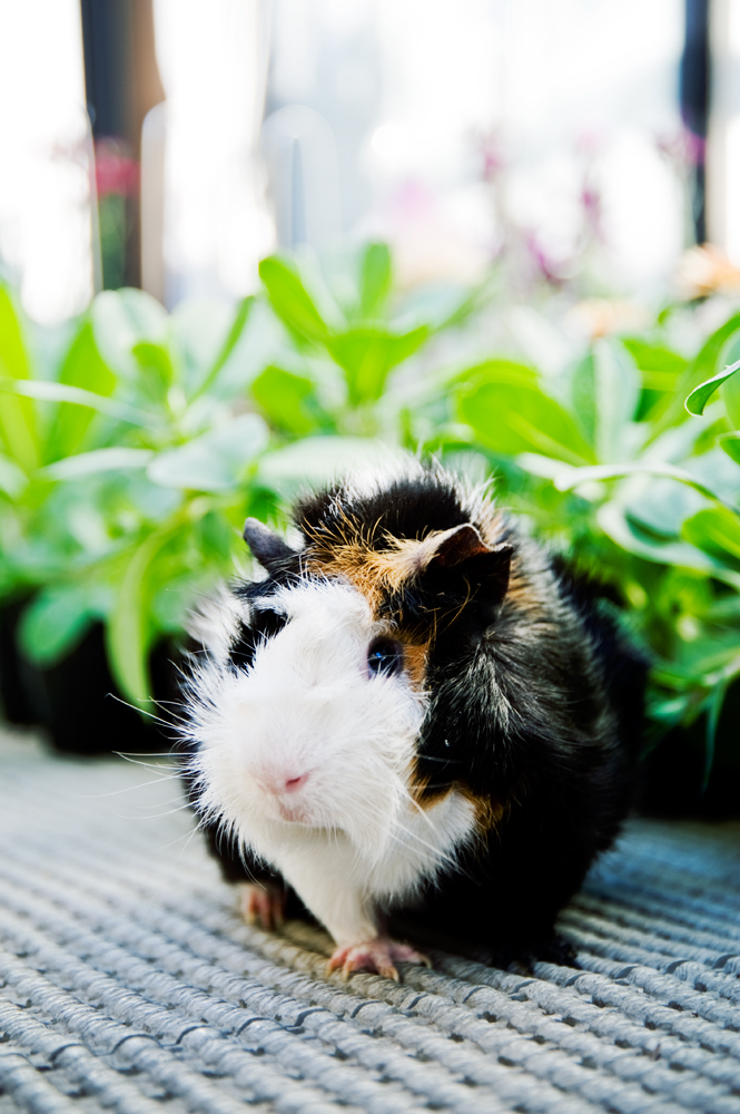 Guinea pig_f0144394_7184843.jpg