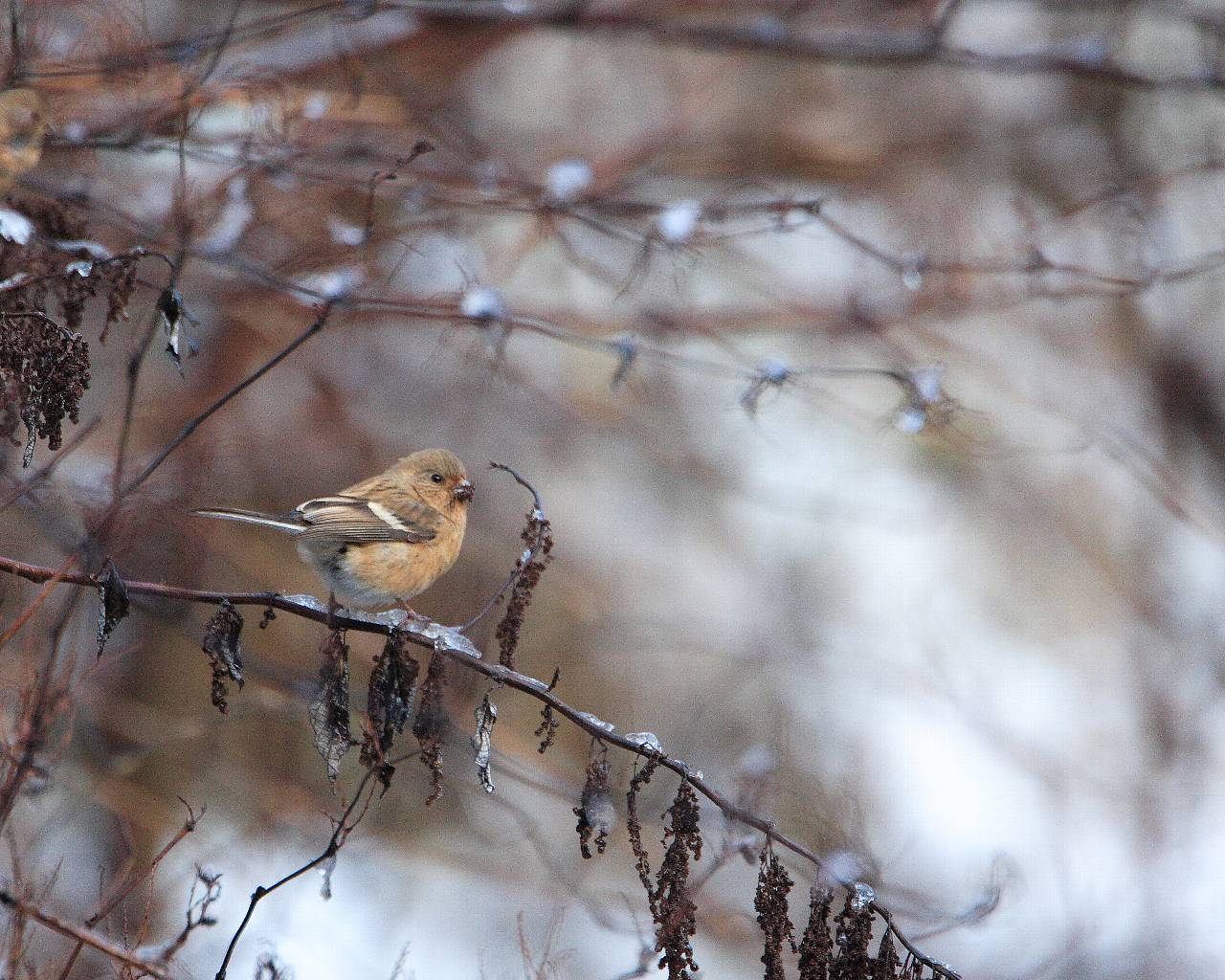 神奈川県の軽井沢でベニマシコと雪(冬の季節感溢れる野鳥の壁紙)_f0105570_19462334.jpg