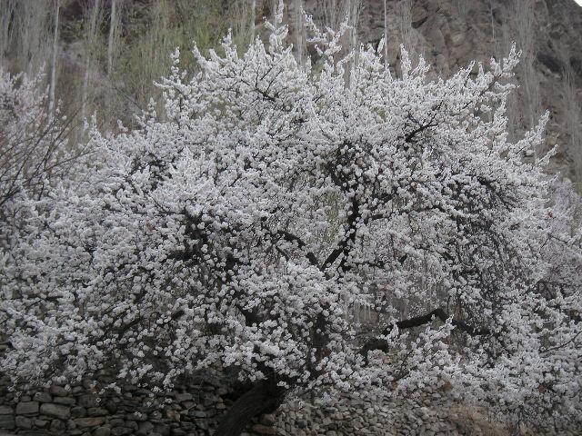 杏の花_c0190938_22324818.jpg