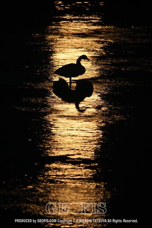 月光と白鳥・荒川・満月の夜明け_b0007284_2032756.jpg