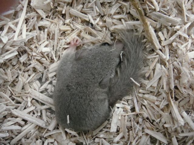 モモンガ・ハムスター・マウス・ヤマネ_f0189122_16476.jpg