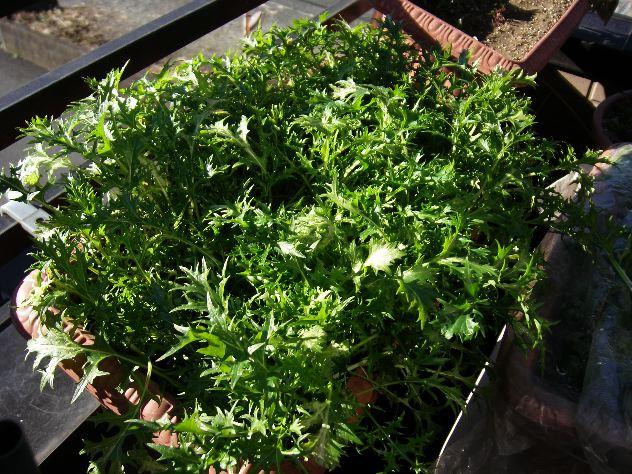 ベランダプランターの水菜収穫_c0053863_16572818.jpg